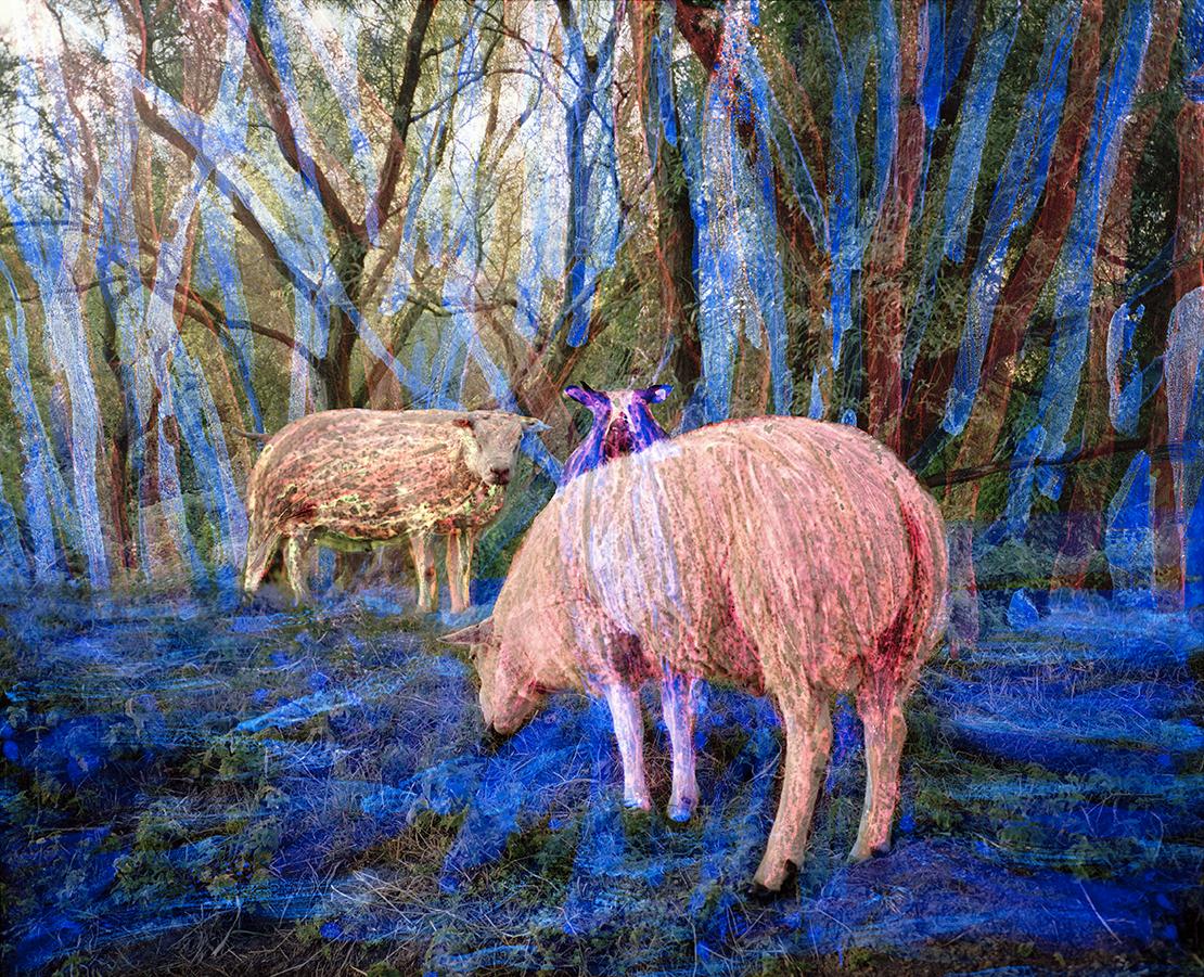 Sheep Order